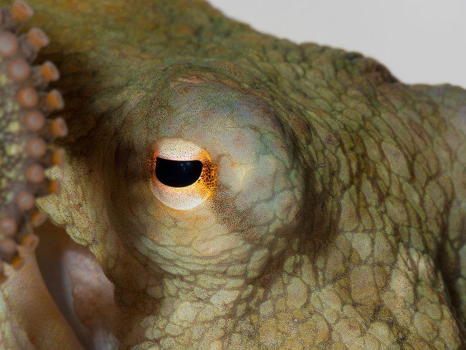 Wissenschaftsethik: Darf man Kraken Ecstasy geben?