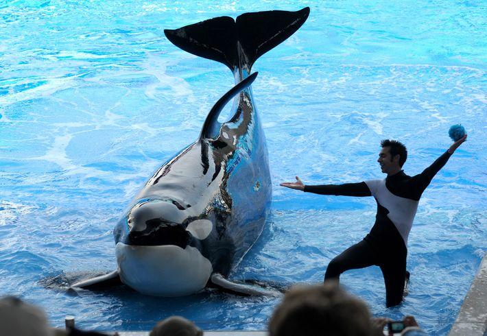 SeaWorld Orlando zu sehen ist, starb 2019 im Alter von 30 Jahren. In der Wildnis beträgt ...