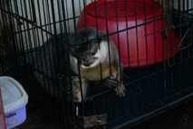 Damit Otter in Gefangenschaft gesund bleiben, brauchen sie spezielle Nahrung. Dieser Otter namens Ophelia wurde in ...