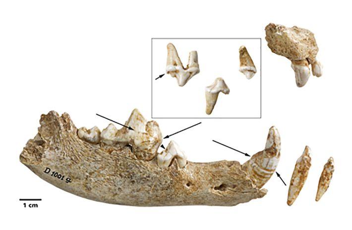 Verdächtige Spuren auf den Zähnen des Welpen zeigen, dass er sich im Alter von etwa 19 ...