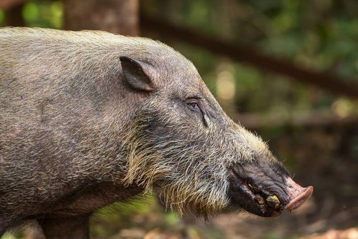 Ein Wildschwein auf Borneo frisst eine Banane. Ihnen schmecken auch Palmfrüchte.