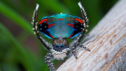 Pfauenspinnen: Meister der Lichtmanipulation