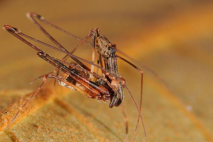 """Spinnen der Archaeidae-Familie (abgebildet ist ein ausgewachsenes Männchen der Art E. workmani) sind """"lebende Fossilien"""", da ..."""