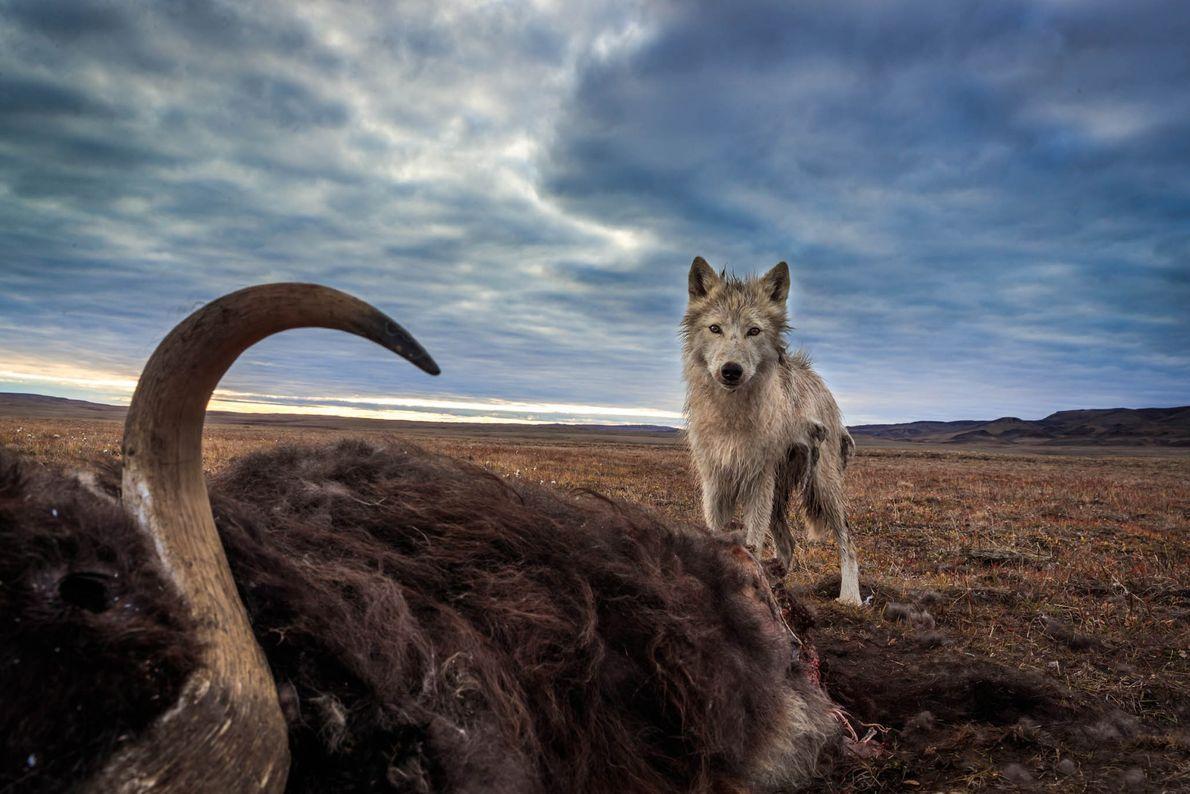 Ein Polarwolf steht über dem Kadaver eines Moschusochsen, seiner Hauptbeute. Das riesige Tier wurde von einem ...