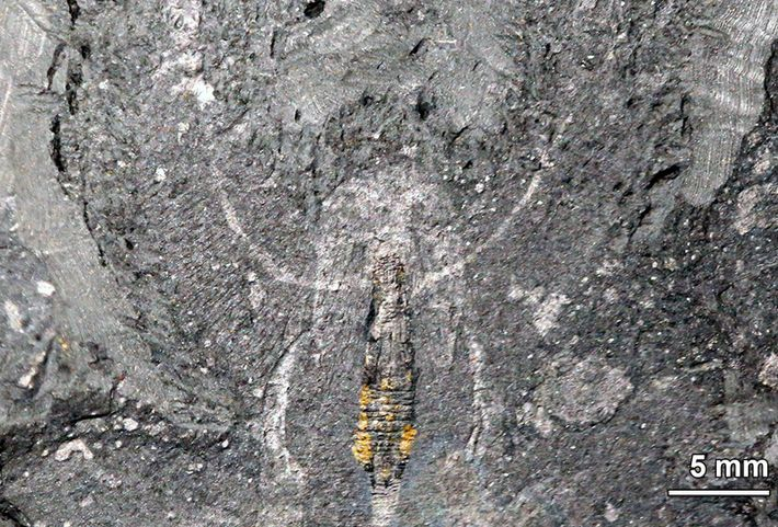 Kerygmachela-Fossil aus Grönland - Nahaufnahme