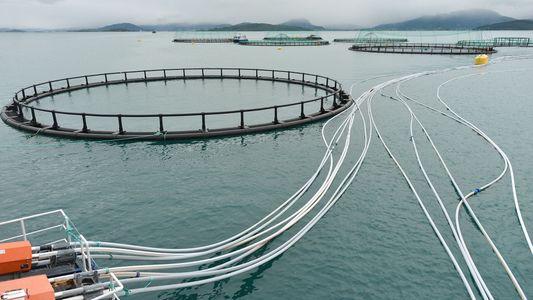 Insekten statt Fischmehl: Gut für Lachse, gut für den Planeten