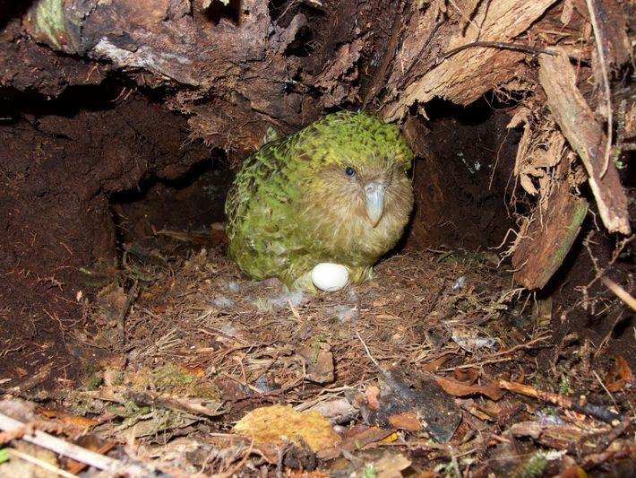 Kakapo brütet im Nest