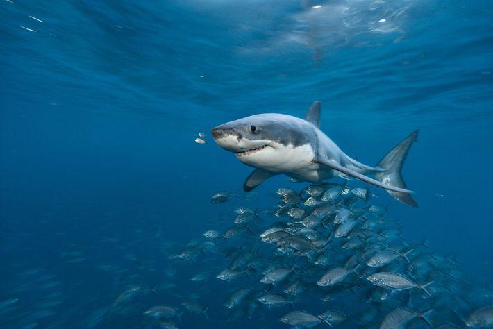 Ein Weißer Hai schwimmt vor den Neptune Islands im Süden Australiens. Wissenschaftler dachten einst, dass die ...