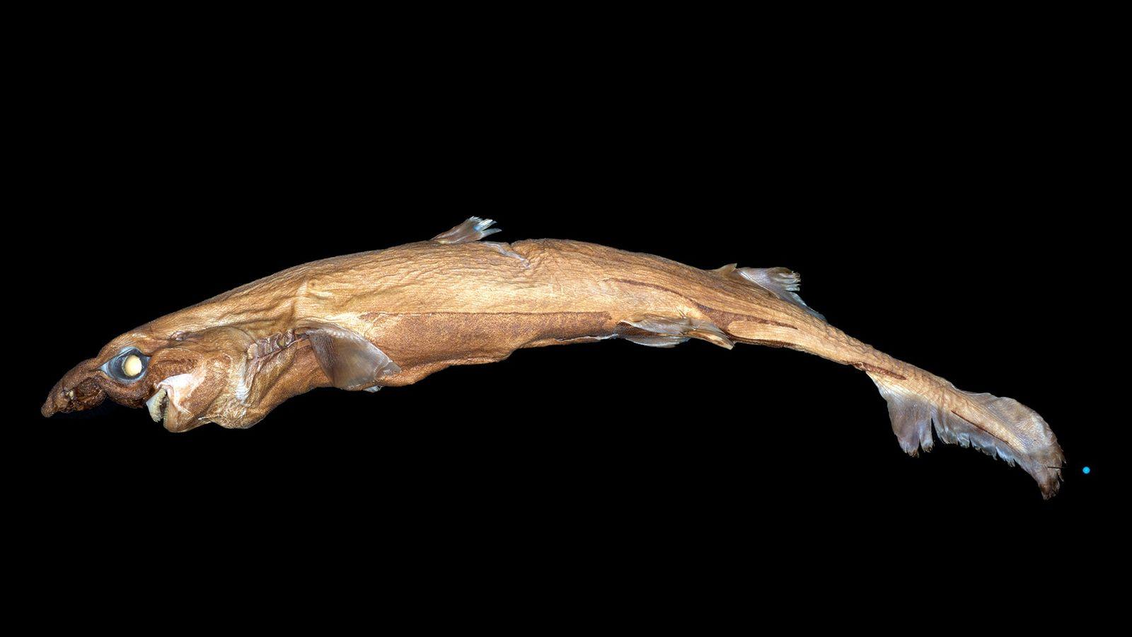 Etmopterus lailae