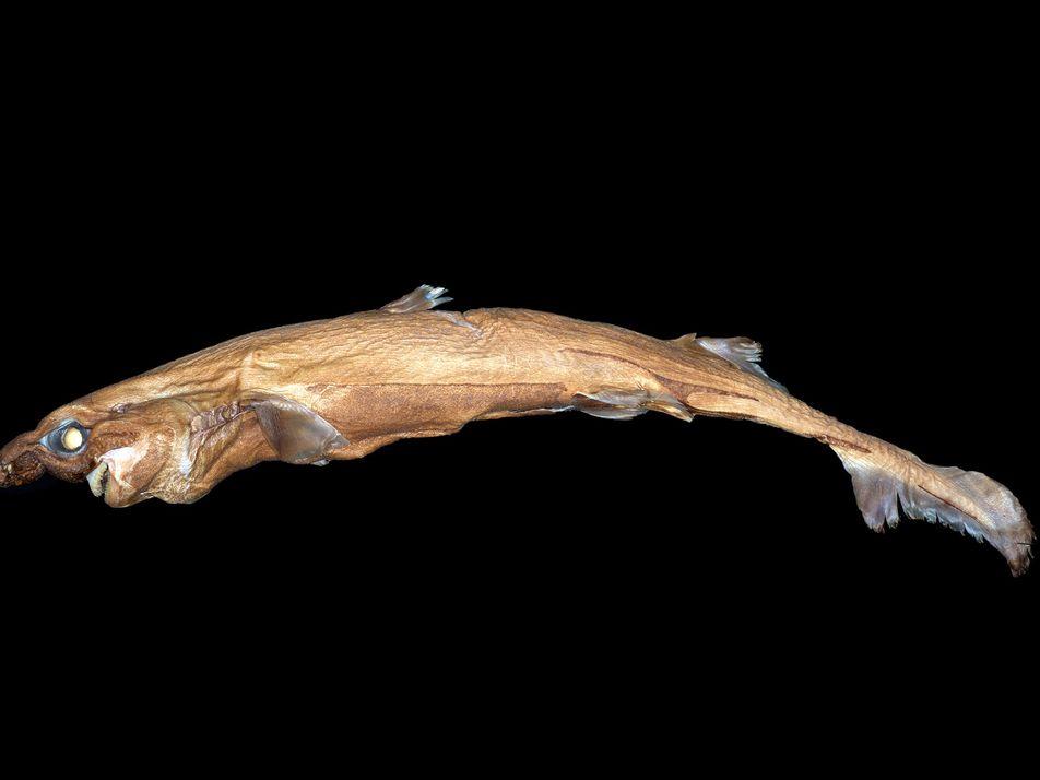 Neuer Mini-Hai leuchtet im Dunkeln