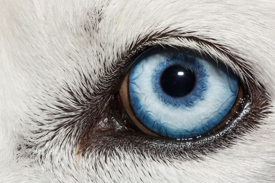 Das blaue Auge eines weißen Siberian Husky, Canis lupus familiaris.