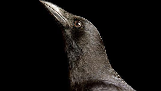 Die schlausten Vögel der Welt