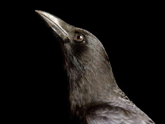 Galerie: Die schlausten Vögel der Welt