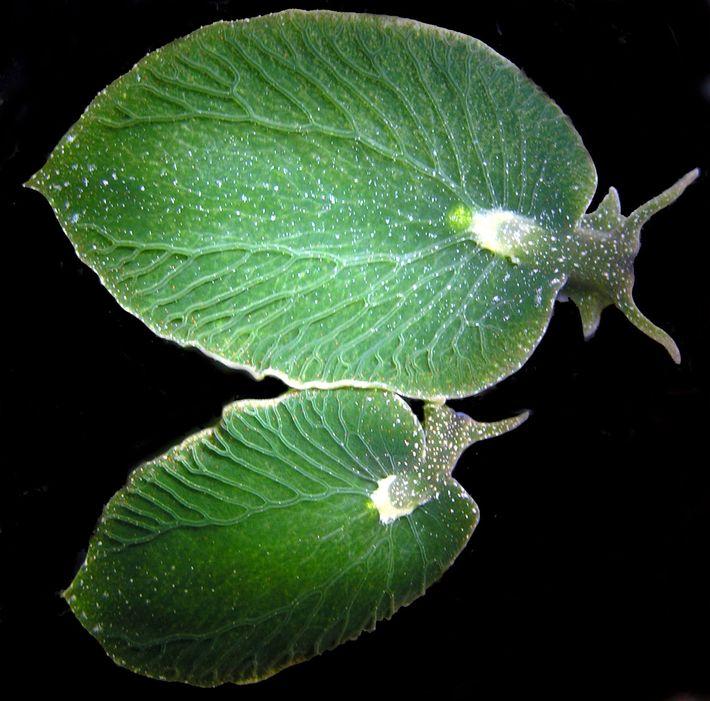 Diese Meeresschnecken sehen wie kleine Blätter aus. Allerdings wird es immer schwieriger, die Tiere noch zu ...