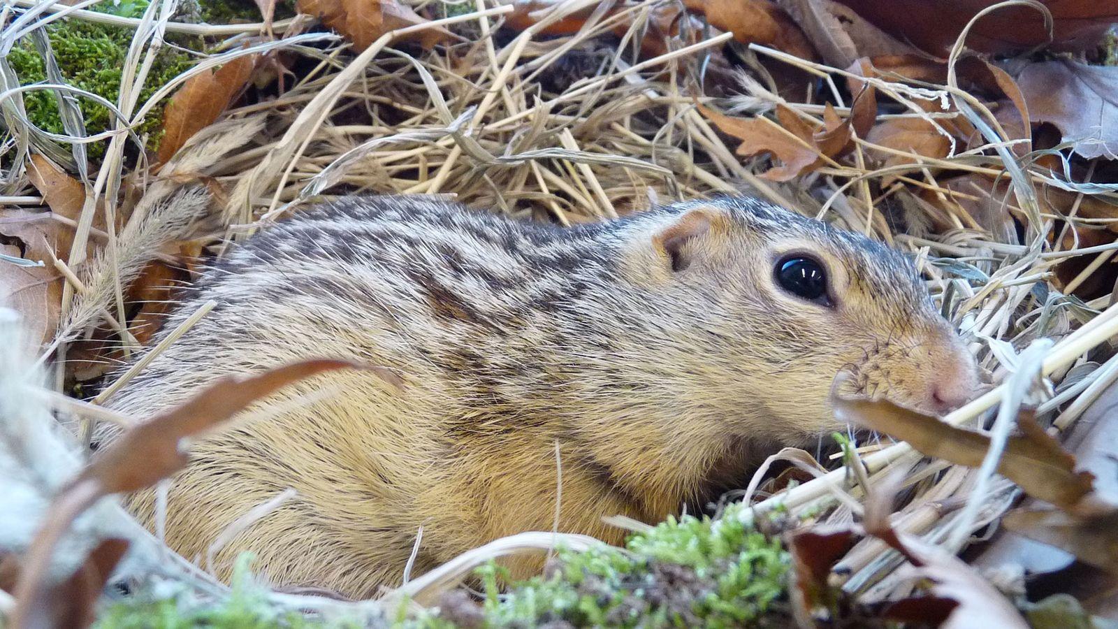 Das Dreizehnstreifen-Hörnchen (Foto) lebt in den Grasebenen Nordamerikas, wo der Winter eisig kalt sein kann.