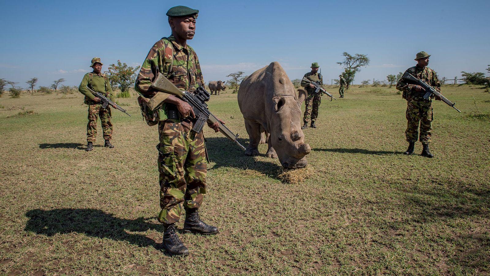 Nördlicher Breitmaulnashorn von bewaffneten Wachen beschützt.