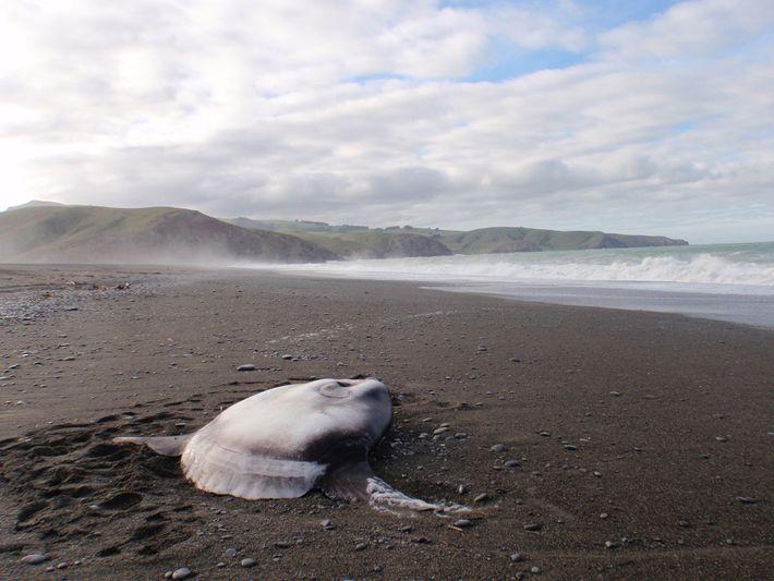 Ein gestrandeter Mola tecta