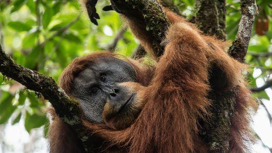 Neue Orang-Utan-Art ist seltenster Menschenaffe der Welt