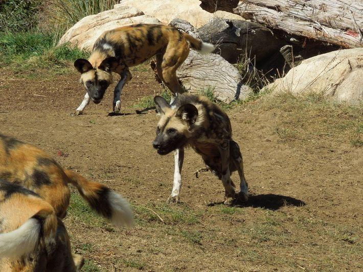 Afrikanische Wildhunde helfen für gewöhnlich Rudelmitgliedern, die ein Bein verloren haben.