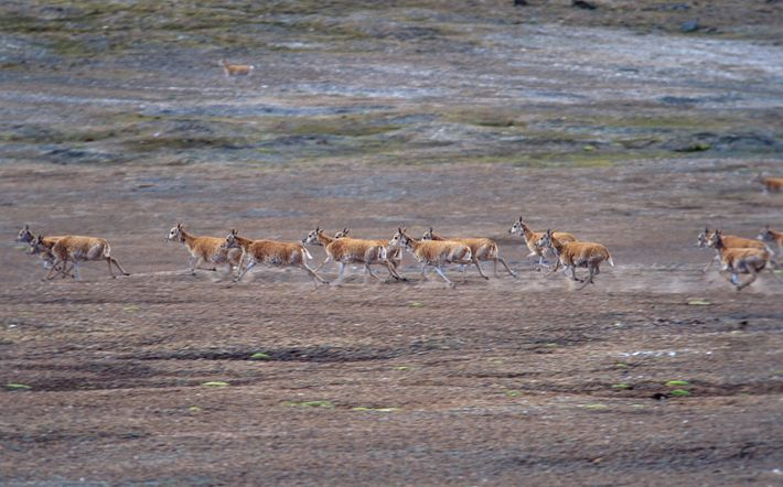 Eine Herde Tschirus in der chinesischen Provinz Qinghai wirbelt Staub auf.