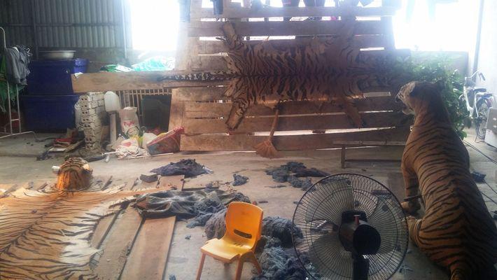 Verdeckte Ermittler der Wildlife Justice Commission besuchten ein Haus in Vietnam, in dem acht Tigerfelle und ...