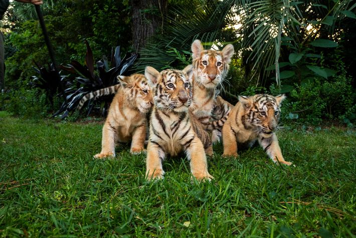 Junge Tiger und Liger