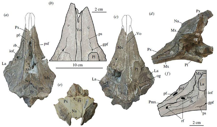 Diese Abbildungen zeigen den versteinerten Schädel der neuen Delfinart und ihre kürzere Schnauze.