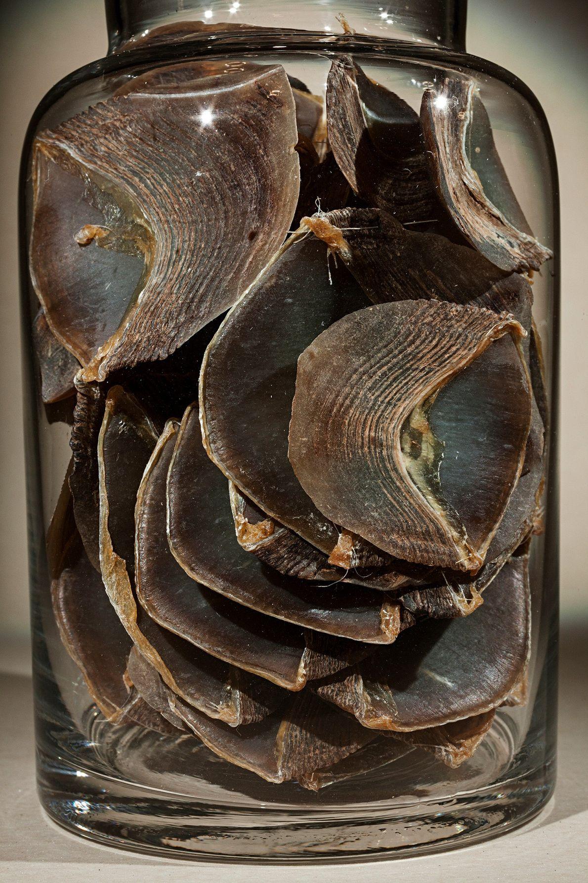 Die Schuppentierschuppen in diesem Glas werden in alten chinesischen Heilmitteln als natürliche Zutat verwendet. Schuppentiere sind ...