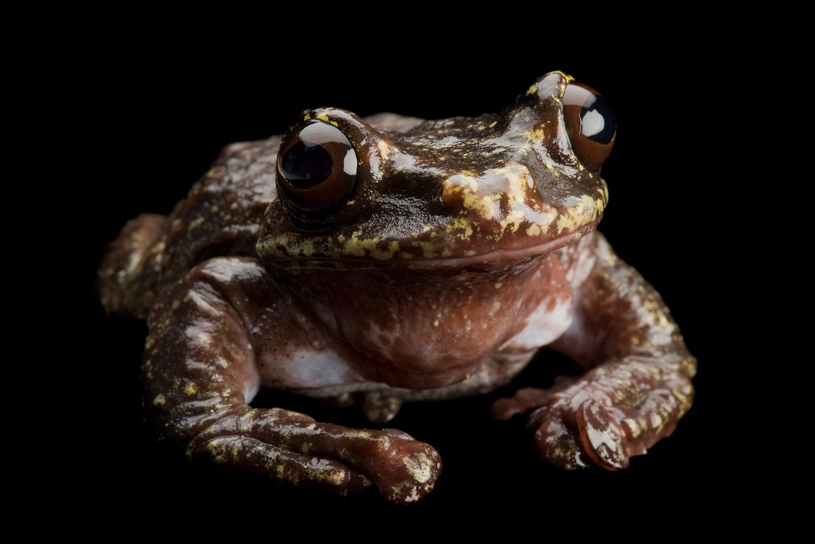 Das letzte bekannte Exemplar der Laubfrosch-Art Ecnomiohyla rabborum starb 2016 im Zoo von Atlanta. Die in ...