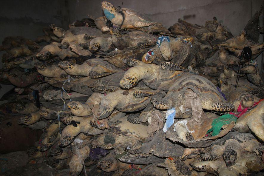 Die vom Aussterben bedrohten Echten Karettschildkröten sind in Asien aufgrund der Musterung ihrer Panzer beliebt.