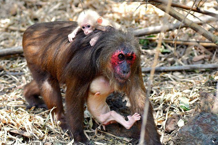 Affenmutter mit Babys