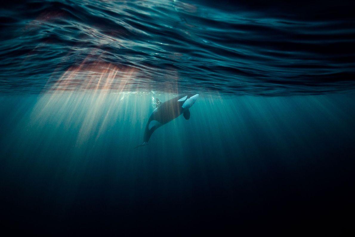 Orca. Andenes, Nordland, Norwegen.