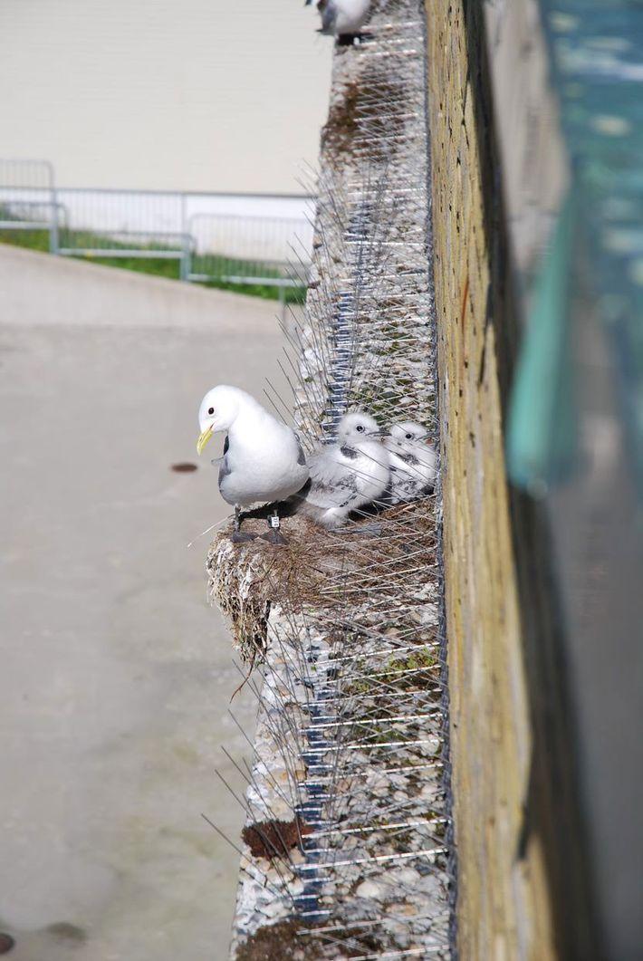 Stadtbewohner installieren Stacheln zur Vogelabwehr, um zu verhindern, dass die gefährdeten Möwen ihre Nester an Gebäuden ...