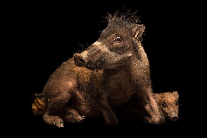 Sus cebifrons negrinus ist eine Unterart des Visayas-Pustelschweins. Die Weibchen werfen pro Jahr zwei bis drei ...