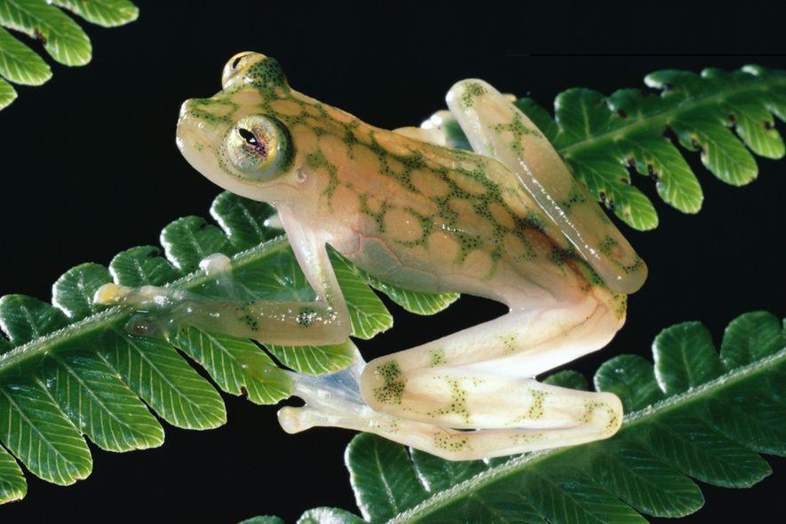 Dieser kleine Glasfrosch der Art Hyalinobatrachium valerioi wirkt fast zerbrechlich, wie er da auf einem Farnwedel ...