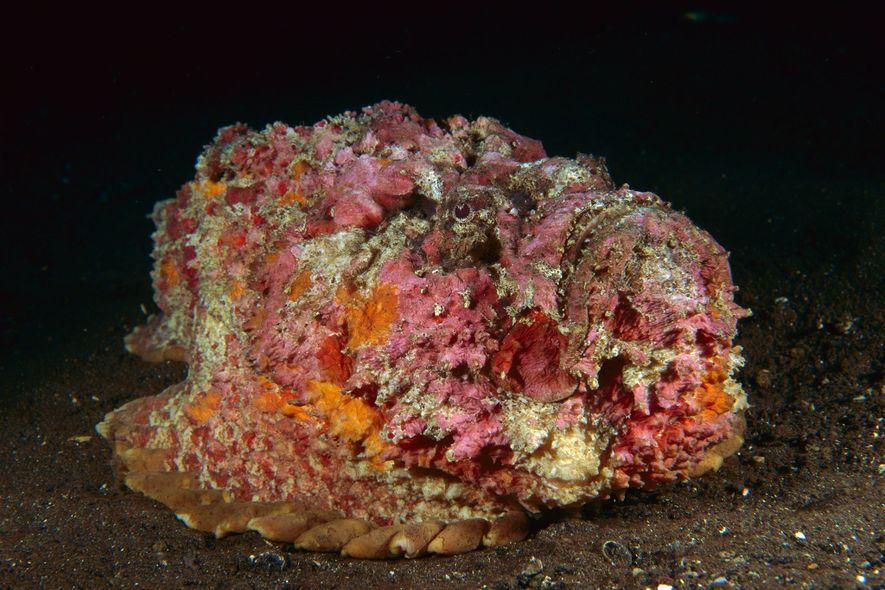 Ein Echter Steinfisch tarnt sich in einem Korallenriff in Bali, Indonesien.