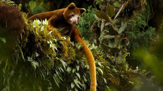 Das plüschige Känguru, das auf Bäumen lebt