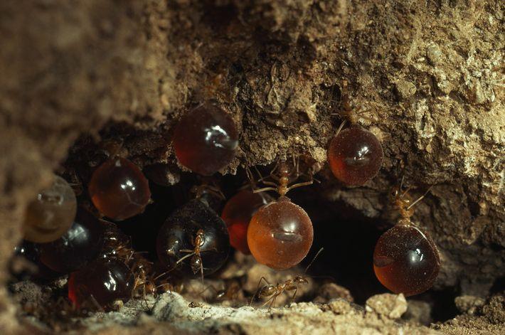 Honigtopfameisen