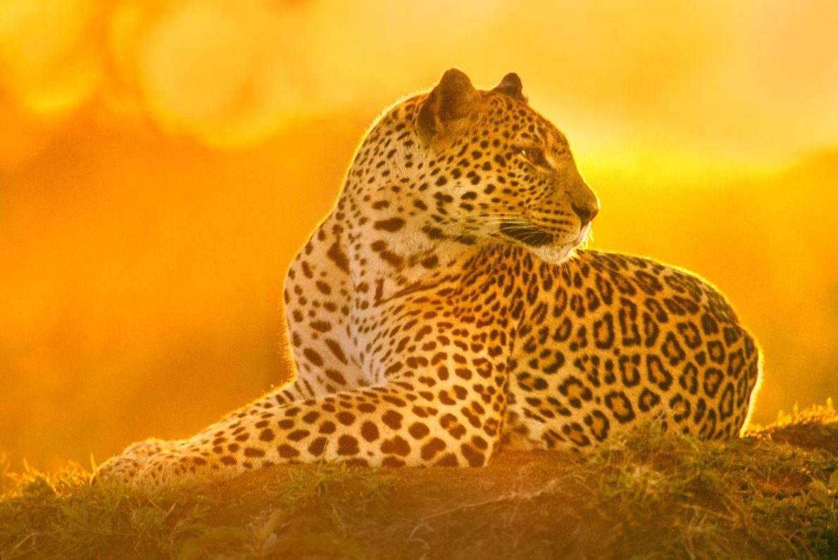 Eine Leopardin ruht sich im Naturschutzgebiet Masai Mara in Kenia aus.
