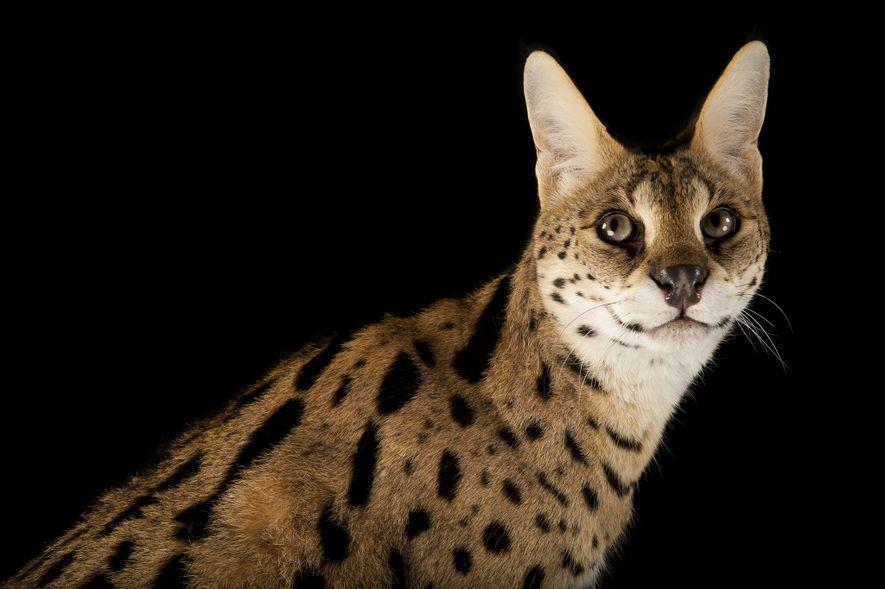 Der Serval ist eine in Afrika beheimatete Wildkatzenart.