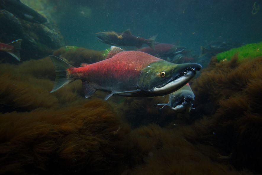 Männliche Rotlachse schwimmen durch den Prinz-William-Sund in Alaska.