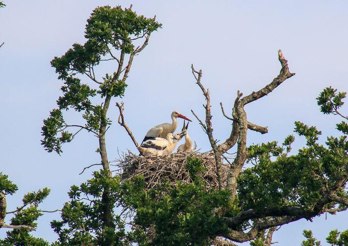 Die Altstörche füttern die Küken in Schichten, wobei sie Regenwürmer, Heuschrecken und sogar Ringelnattern ins Nest ...