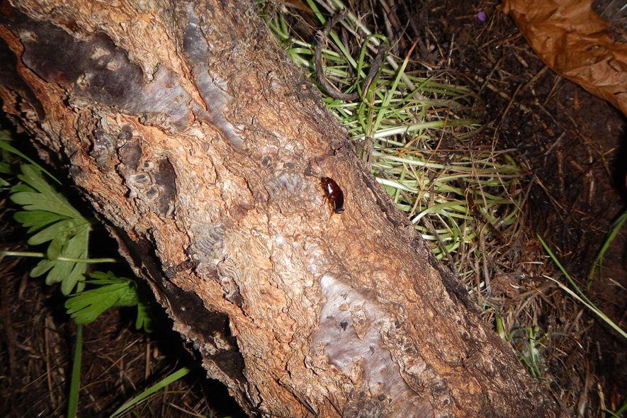 Eine junge Kakerlake