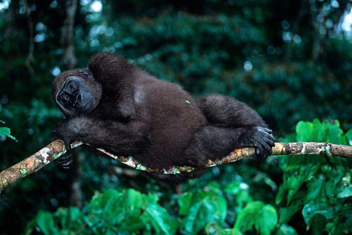 Verwaiste Gorillas werden in Gabun wieder an das Leben in der Wildnis gewöhnt.