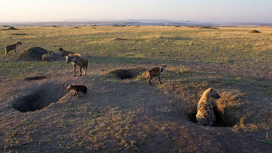 Galerie: Kot von Eiszeit-Hyänen an alten Stätten menschlicher Aktivität entdeckt