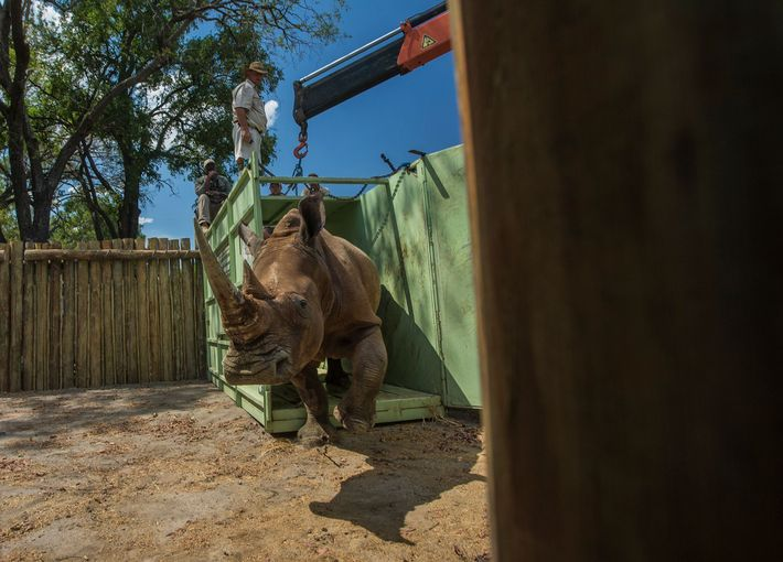 Nashorn aus Südafrika