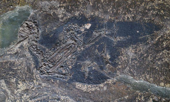 Fossil von Eocoracias brachyptera