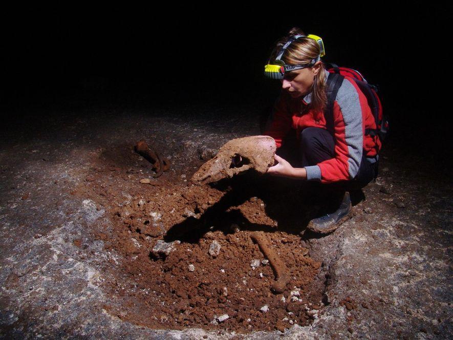 Ein Forscher hält den Schädel eines Höhlenbären (Ursus spelaeus). Höhlenbären waren größer als die heute lebenden ...