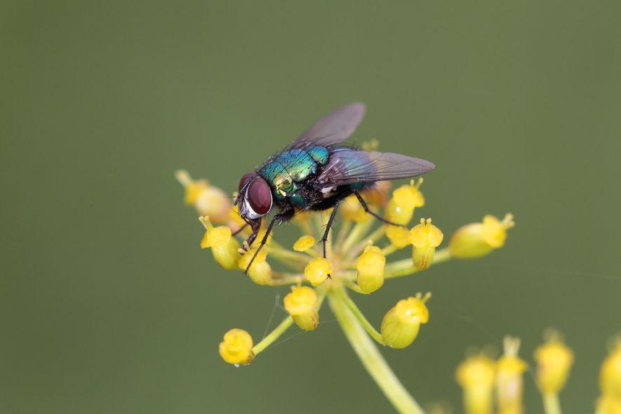 Die Goldfliege, Lucilia sericata, gehört zu den Schmeißfliegen und ist vermutlich der bekannteste Vertreter dieser großen Familie. Die Maden (Larven) dieser Fliege werden bei Madentherapien eingesetzt.