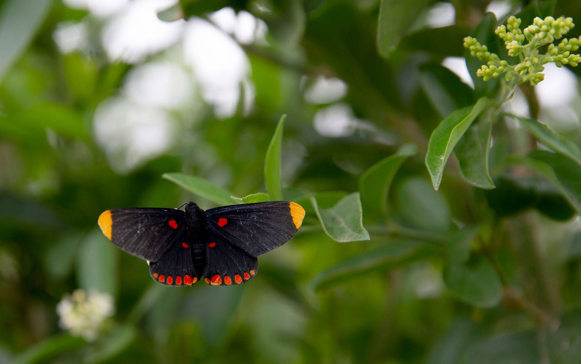 Ein Schmetterling der Art Melanis pixe ruht sich im National Butterfly Center in Mission, Texas, aus. ...
